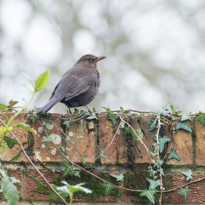 Vtáčik na múriku