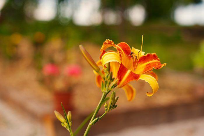 Ak chcete mať s kvetinami čo najmenej práce, zasaďte si trvalky. Najlepšie klasické druhy, ktoré sú odolné a zvyknuté na naše podmienky.