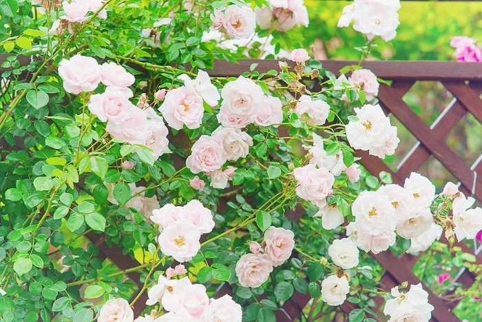 Nechajte popínavé ruže (alebo iné rastliny, napríklad plamienky) ťahať po plotoch a trelážach. Tak záhrada získa na výške to, čo nemôže na šírke. Takto možno šikovne predeliť záhradný priestor a zároveň sa tešiť z opojných vôní.