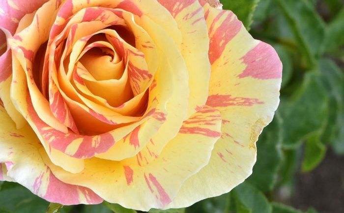 Ruža (Rosa Claude Monet) – ruža vypestovaná na počesť významného francúzskeho maliara má ružovo strakaté kvety, dorastá do výšky 1 m.
