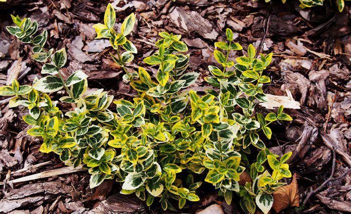 Bršlen Fortuneov (Eounymus fortnei ´Esmerald´n Gold´) - vhodný proti zosuvom pôdy aj ako živý plot, kôra a plody sú jedovaté (vhodné na masť proti všiam), svetlé stanovisko.