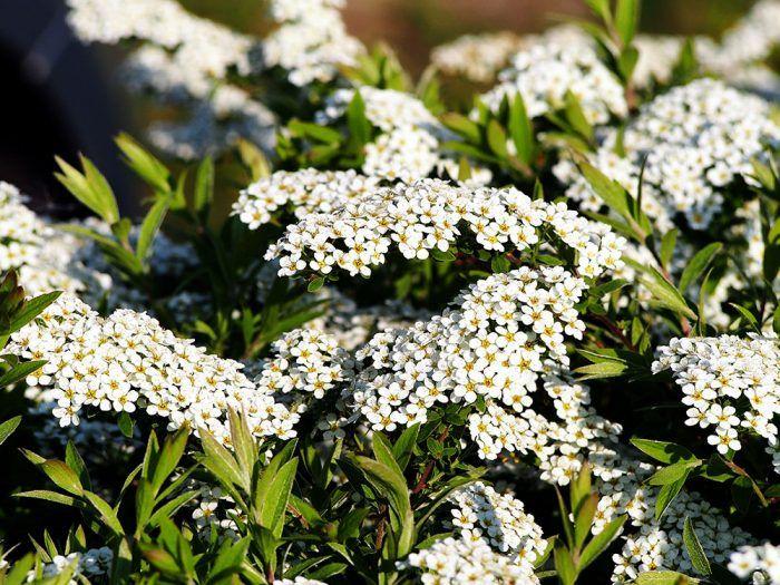 Tavoľník popolavý (Spiraea x cinerea ´Grefsheim´) – konáre obsiate bielymi kvetmi, slnko/tieň, výživná pôda, kvitne v apríli a máji.