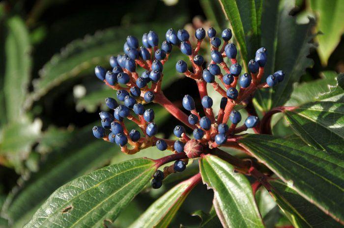 Kalina Davidova (Viburnum davidii) – vždyzelený kompaktný ker s kožovitými listami, dorastá do výšky 1 m, chránený polotieň, vlhká, priepustná pôda, kvitne od máji a júni.