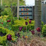 Červené a zlaté tulipány po okrajoch štrkového chodníka na severnej strane záhrady vytvárajú farebné ostrovčeky medzi fialovými šalviami a hnedými ostricami.