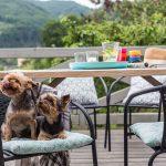 Dva psy, foxteriéry na stoličke na drevenej terase